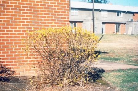 Forsythia pruned as hedge copy