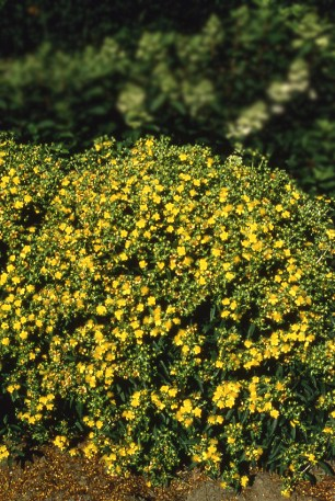 'Ames' Kalm's St. Johnswort (Hypericum kalmianum 'Ames') is heat and drought tolerant