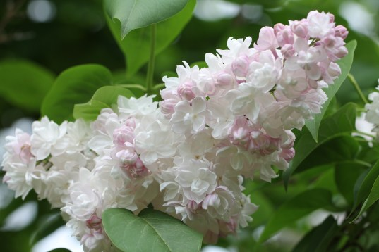 Beautiful flowers of Beauty of Moscow common lilac (Syringa vulgaris 'Krasavitsa Moskvy')