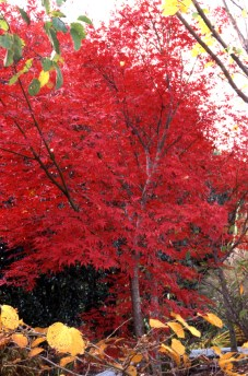 Japanese maple (Acer palmatum) in full fall color