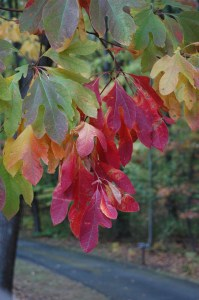 Sassafras albidum fall color