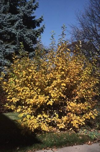 Vernal witchhazel (Hamamelis vernalis)