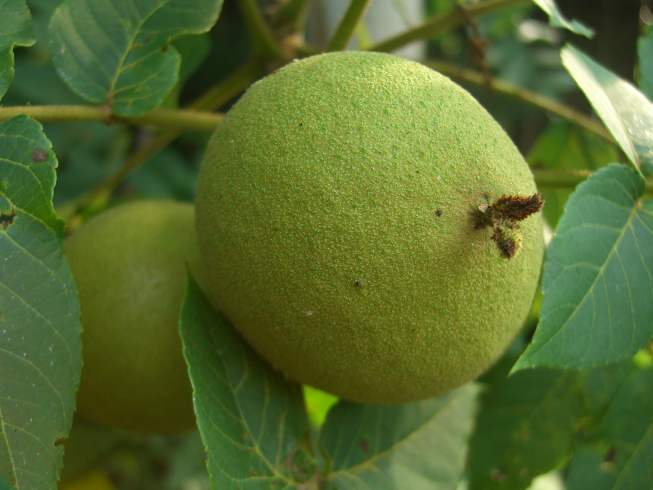 Allelopathy Helps Black Walnuts Compete