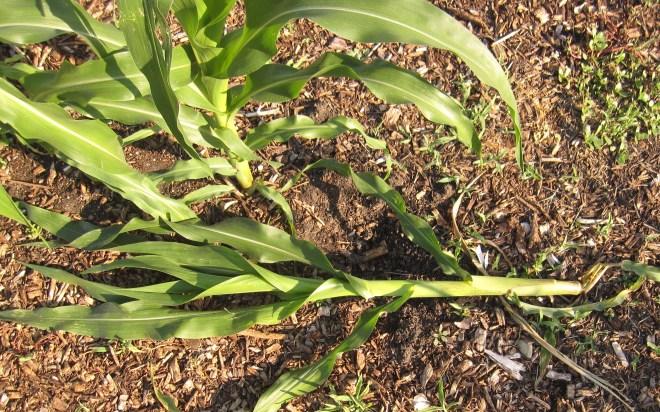 cornlazyplant