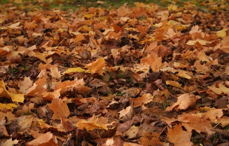Not raking leaves:  Too good to be true?