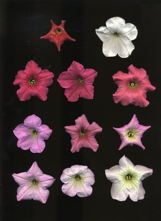 Petunia exserta (top left) Petunia axillaris (top right) and their F2 hybrids (everything else)