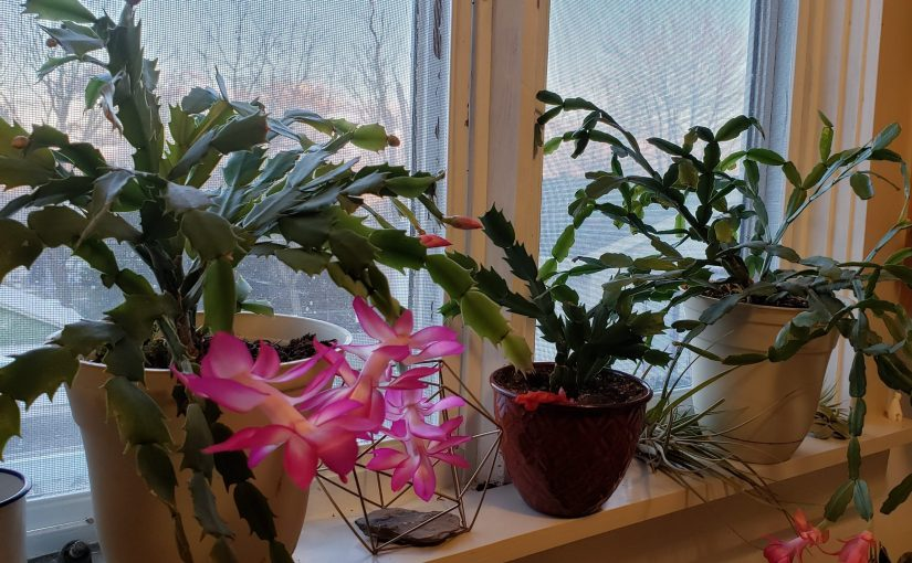A Cactus by Any Other Name: A Case of Mistaken Holiday Cactus Identity