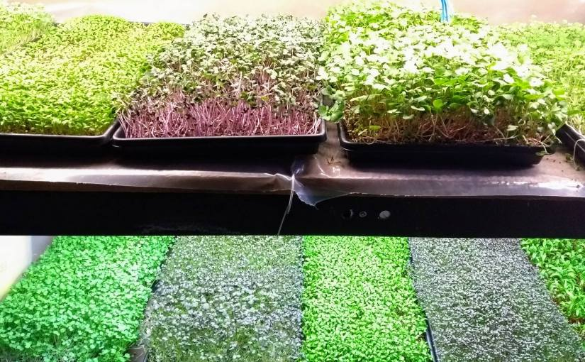 Tiny plants that pack a flavor and nutrition punch: getting in on the microgreen trend