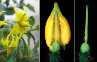 Tomato pollination and how to increase it in high tunnels