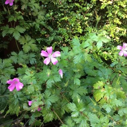Geranium lilac