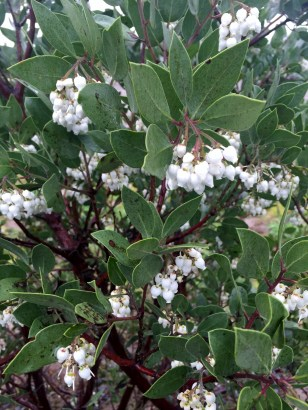 A close up of Arctostaphylos glauca 'small leaved selection' in the test plot. This one has recovered from its winter damage and shows minor leaf spotting now, with its heavy flowering. Courtesy Steve Morgan