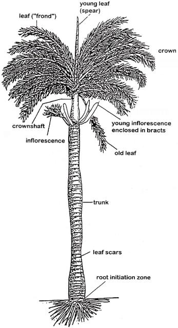 Palms, Bananas, All Monocots…Oh My! Their Similarities and
