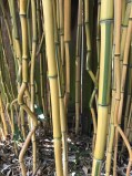 My little stand of Phyllostachys aureosulcata 'Spectabilis'. Typical of the other 'crook-stem' bamboos not all of the culms exhibit this characteristic bending at its nodes. Like all Phyllostachys these form two 'branches' at each node, which are often removed to better display the attractive culms.