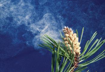 What the other vascular seed forming plants do. Pinus contorta, a Gymnosperm, shown releasing its pollen on a breeze from its male cones or strobili. credit Robert J. Erwin:Science Source