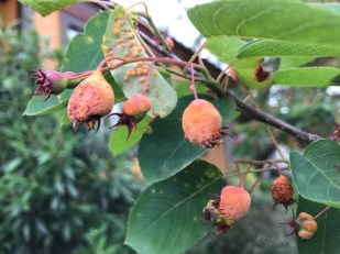 Virtually every fruit on my tree is infected and many will abort.