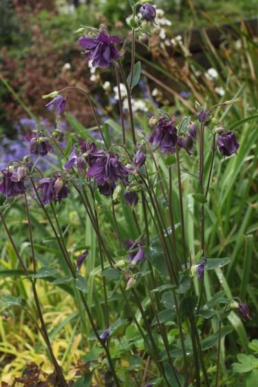 Aquilegia vulgaris, a weed but tolerated.