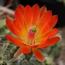 Echinocereus roemeri