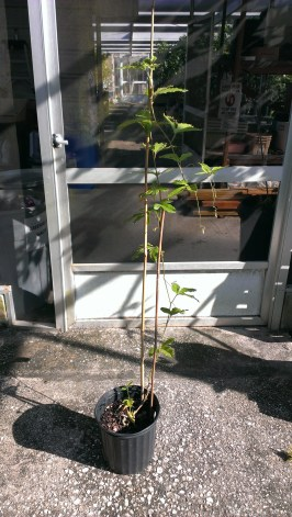 This plant was treated with oryzalin for two weeks as a seedling. This shows the entire plant, not much to it yet.