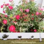 Winterizing Roses