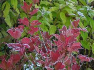 American cranberry bush in fall