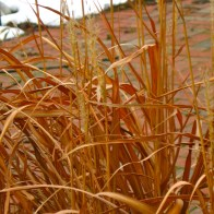 coppery grass