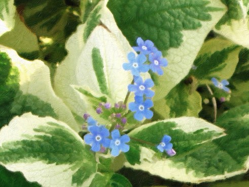 brunnera oil
