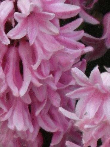 hyacinth oil