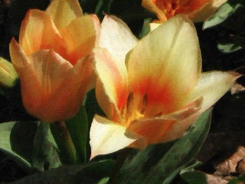 tulip oil