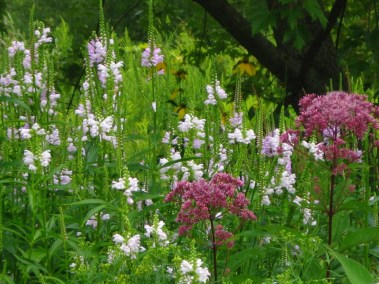 Joe pye with Obedient plant