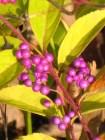 Callicarpa (beautyberry)
