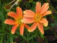 an apricot coreopsis
