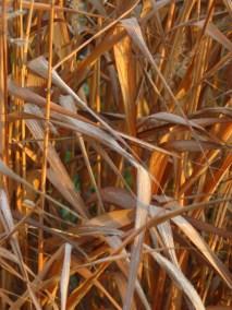 Miscanthus 'Purpurascens' Flame Grass.
