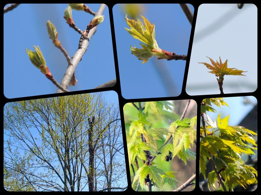 The Maple Tree Through Spring | Gardens Eye View