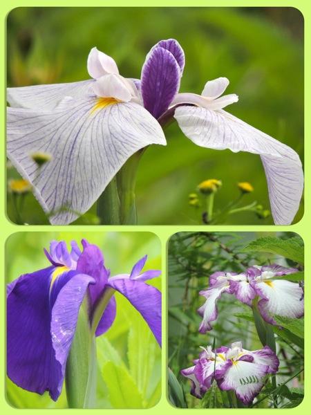 j iris july