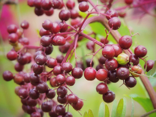 Simply The Best Natives-Common Elderberry