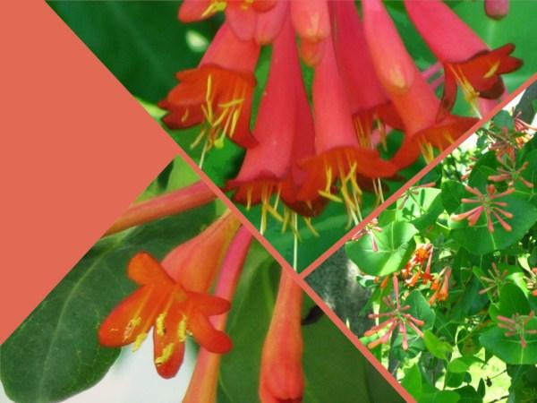 honeysuckle collage