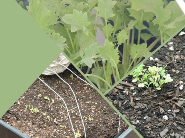 lettuce-kale collage