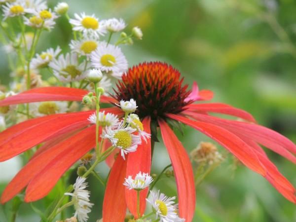 orange echinacea