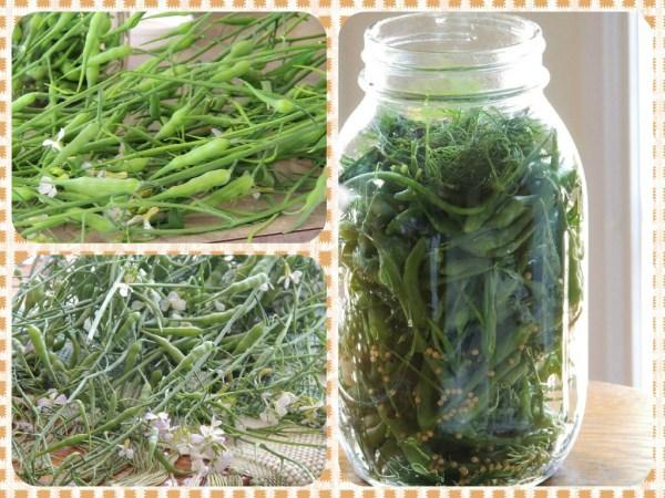 radish seed pod pickles