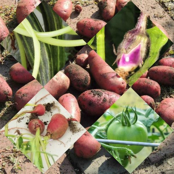 aug harvest collage