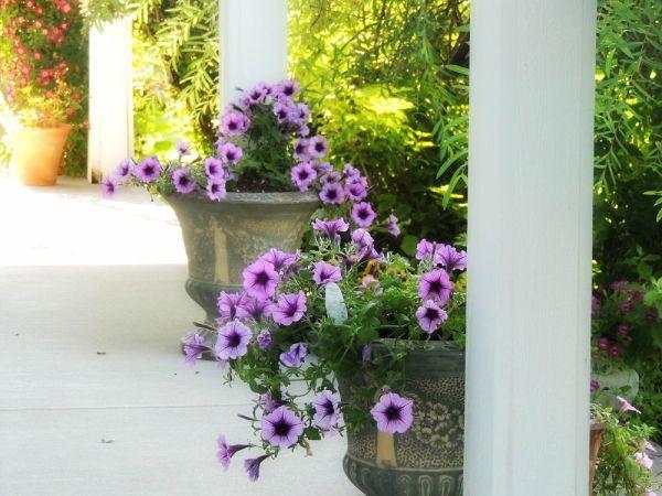 front porch petunia