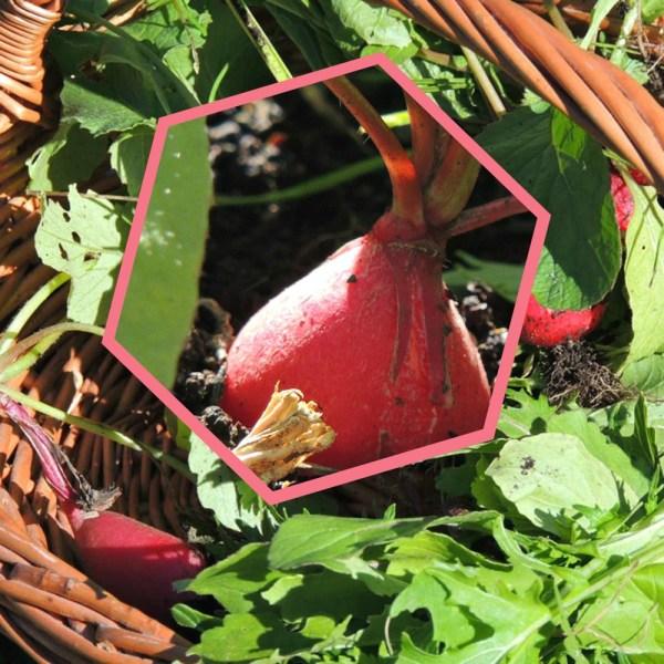 oct radishes