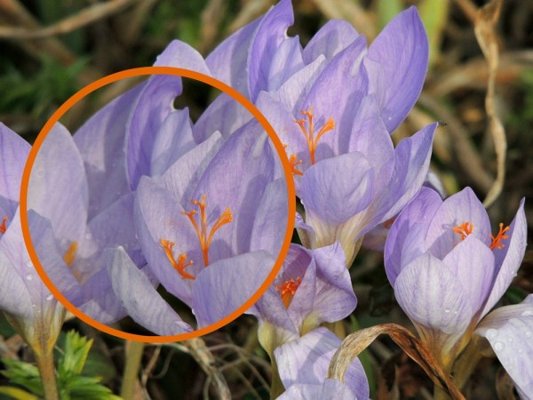 autumn crocus collage