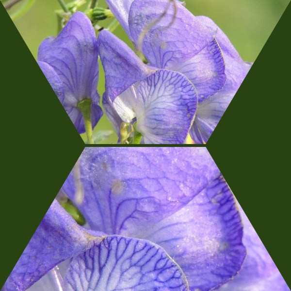 monkshood collage