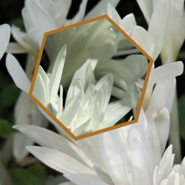 white autumn crocus