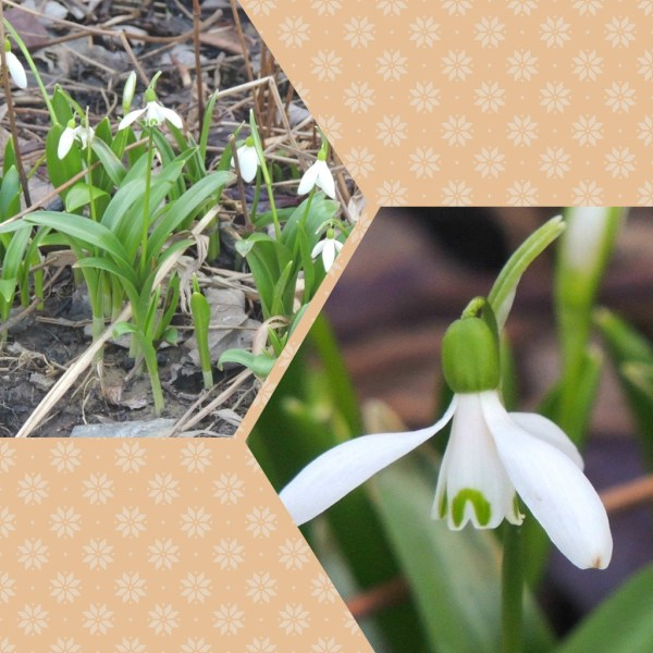 snowdrop collage