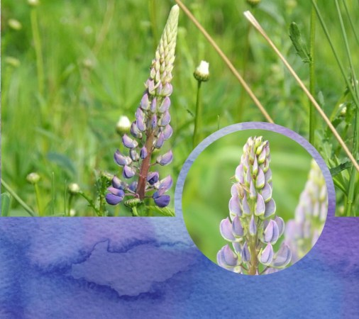 lupins collage