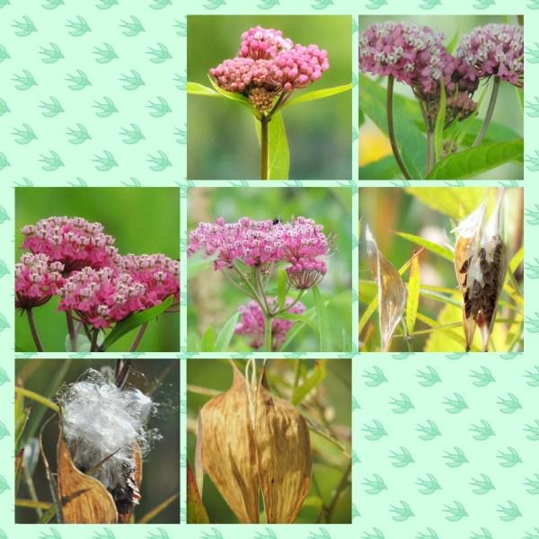 swamp milkweed collage