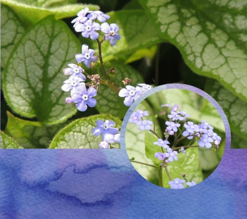 brunnera collage