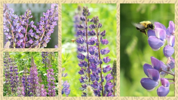lupine meadow collage